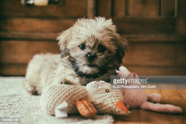 cute fluffy puppy - maltese dog stock pictures, royalty-free photos & images