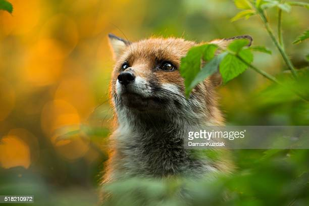 cute fox - fox stock pictures, royalty-free photos & images