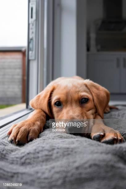 süße fuchs rot labrador welpen ruhen - fuchspfote stock-fotos und bilder