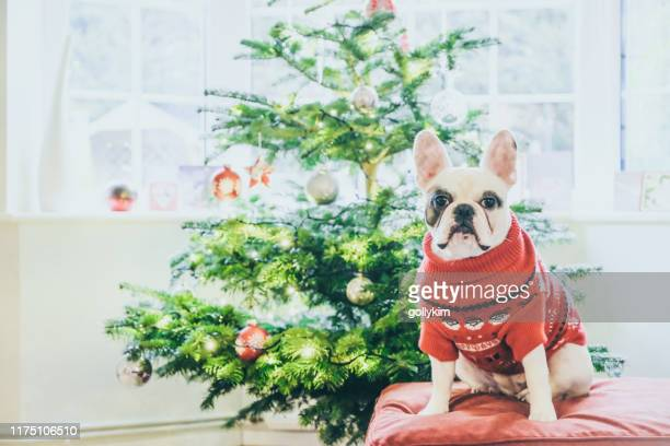 cute french bulldog in christmas jumper posing by christmas tree - ugly christmas sweater stock photos and pictures