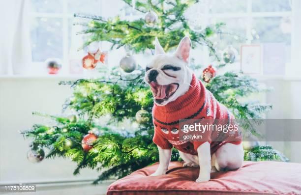lindo bulldog francés en el saltador de navidad bostezando por el árbol de navidad - christmas jumper fotografías e imágenes de stock