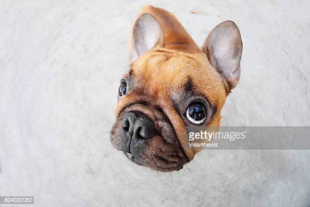 Cute french bulldog (dog) looking up feeling guilty