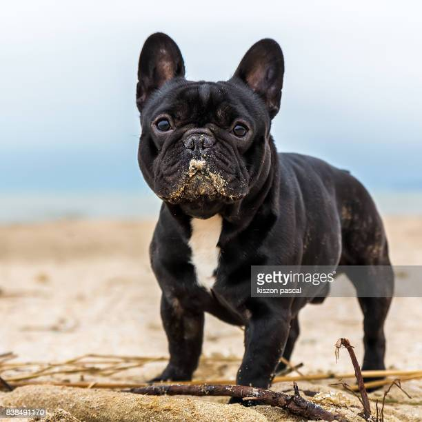 cute french bulldog playing in the sand . .