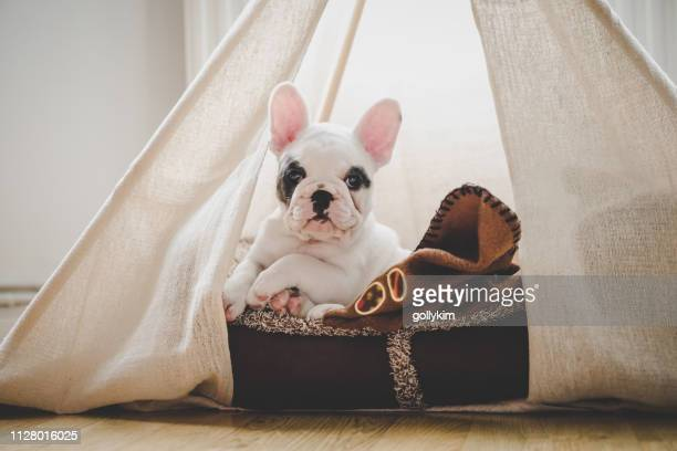cute french bulldog puppy lying in bed inside a teepee tent, england - pet bed stock pictures, royalty-free photos & images
