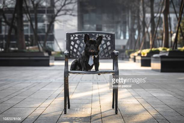 cute french bulldog sitting on chair and looking at camera in paris , france - bulldog frances imagens e fotografias de stock