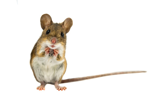 Cute Funny Field Mouse on white background 658266552