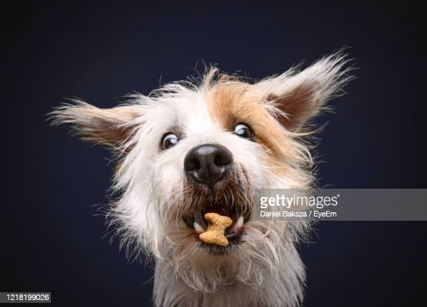cute funny long haired jack russell is catching food flying in the air on blue background - hair stock pictures, royalty-free photos & images