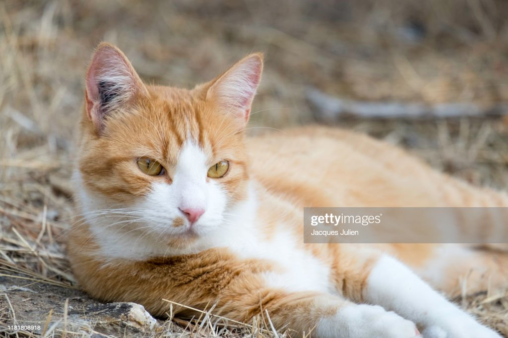 Cute ginger and white cat lying down on the grass : Photo
