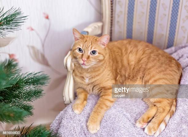 Cute Ginger cat is relaxing on armchair
