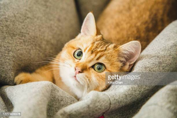 cute ginger cat playing on a bean bag - british shorthair cat stock pictures, royalty-free photos & images
