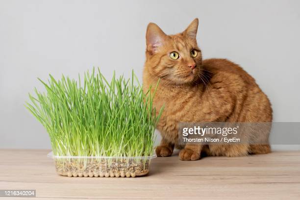 cute ginger cat sitting beside a plant pot with fresh catnip. - catmint stock pictures, royalty-free photos & images