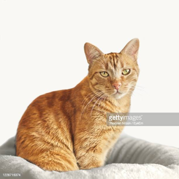 cute ginger cat sitting on a pillow and looking directly in camera - pillow stock pictures, royalty-free photos & images