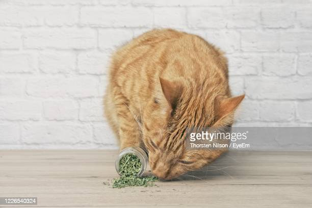 cute ginger cat sniffing on dried catnip. - catmint stock pictures, royalty-free photos & images