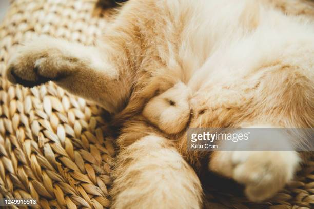 cute ginger cat taking a nap on a futon - hairy bum stock pictures, royalty-free photos & images
