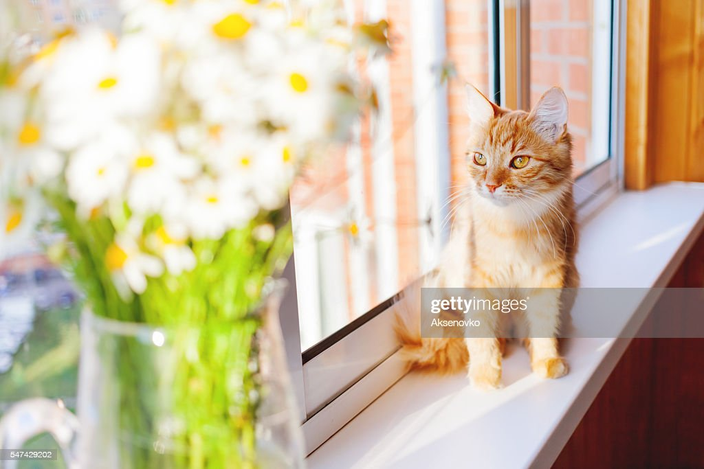 Cute Ginger Cat With Bouquet Of Camomila Flowers Stock Photo   Getty ...
