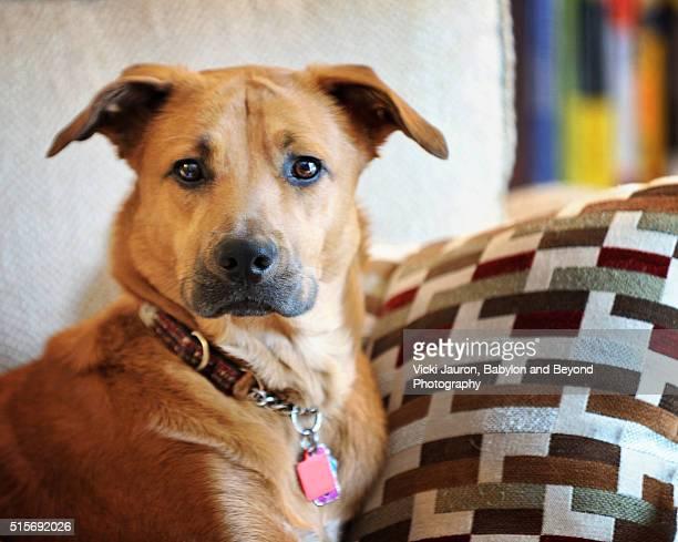 Cute Golden Dog Inside Looking at Camera
