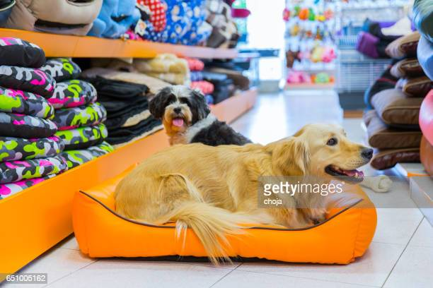 cute golden retriever and tibetan terrier in pet store resting - pet equipment stock pictures, royalty-free photos & images