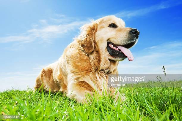 Süße golden retriever Hund liegt in der Natur.