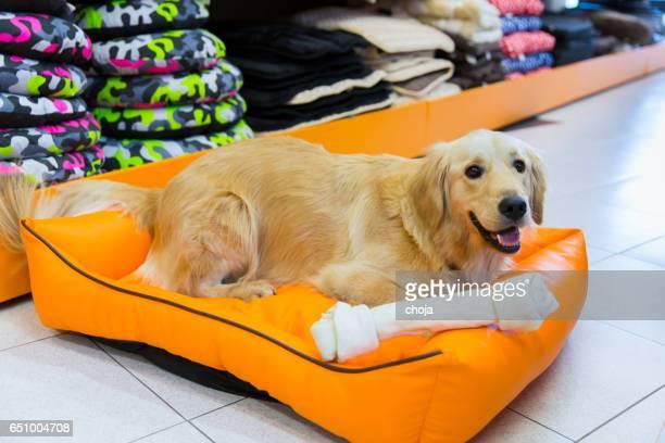 Cute golden retriever with big bone in pet store resting