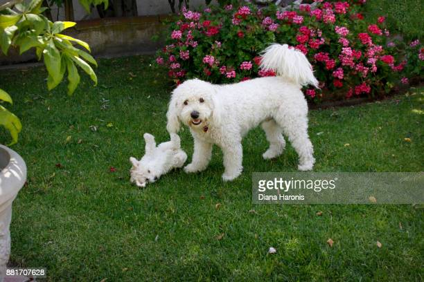 A cute goldendoodle and a little puppy are playing together in the grass.