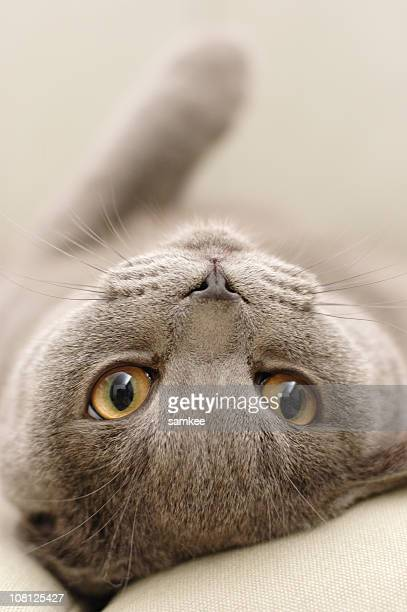 Cute gray cat laying upside down with face looking ahead