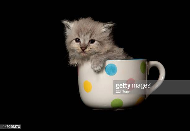 cute gray long hair kitten sitting in polka dot coffee cup