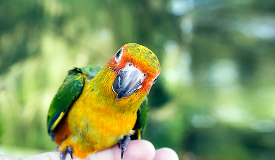 Cute green bird on finger, Parrot on the finger, Parrot Sun conure on hand. Feeding Colorful parrots on human hand. Bird on finger. 1026108112