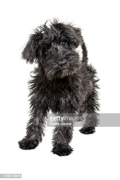 cute grey and black schnauzer/poodle mix puppy sitting in front of a white backdrop - animal hair stock pictures, royalty-free photos & images