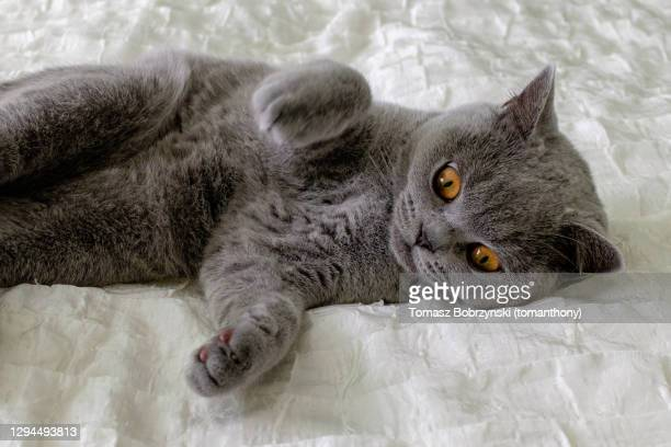 a cute grey kitten with orange eyes on a bed - british shorthair cat stock pictures, royalty-free photos & images