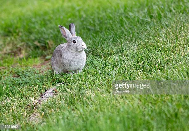 cute grey rabbit in a field of grass - domestic animals stock pictures, royalty-free photos & images