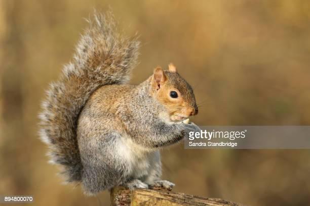 A cute Grey Squirrel (Scirius carolinensis) eating a nut sitting on a log.