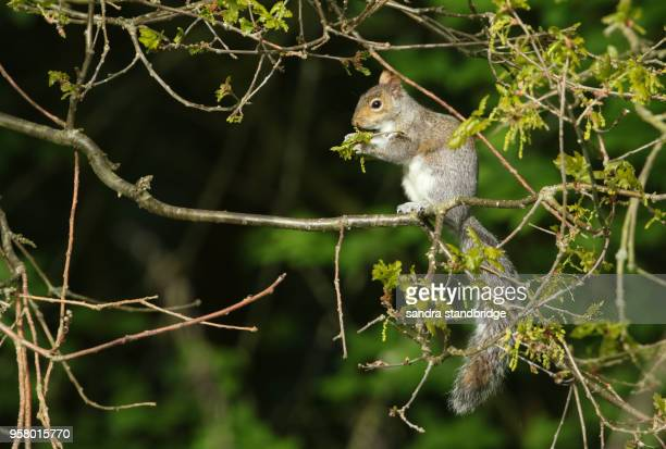 a cute grey squirrel (sciurus carolinensis) sitting on the branch of an oak tree eating the new leaves . - elm tree stock pictures, royalty-free photos & images