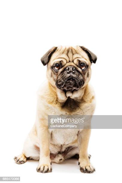 Cute Grumpy Pug Posing For The Camera