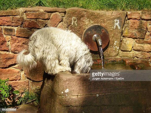 Cute Hairy Dog Drinking Water From Stone Container