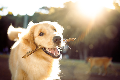 Cute happy dog playing with a stick 1184184060