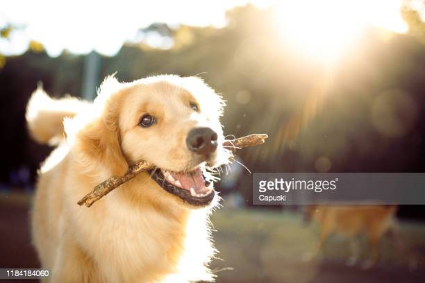 cute happy dog playing with a stick - golden retriever stock pictures, royalty-free photos & images