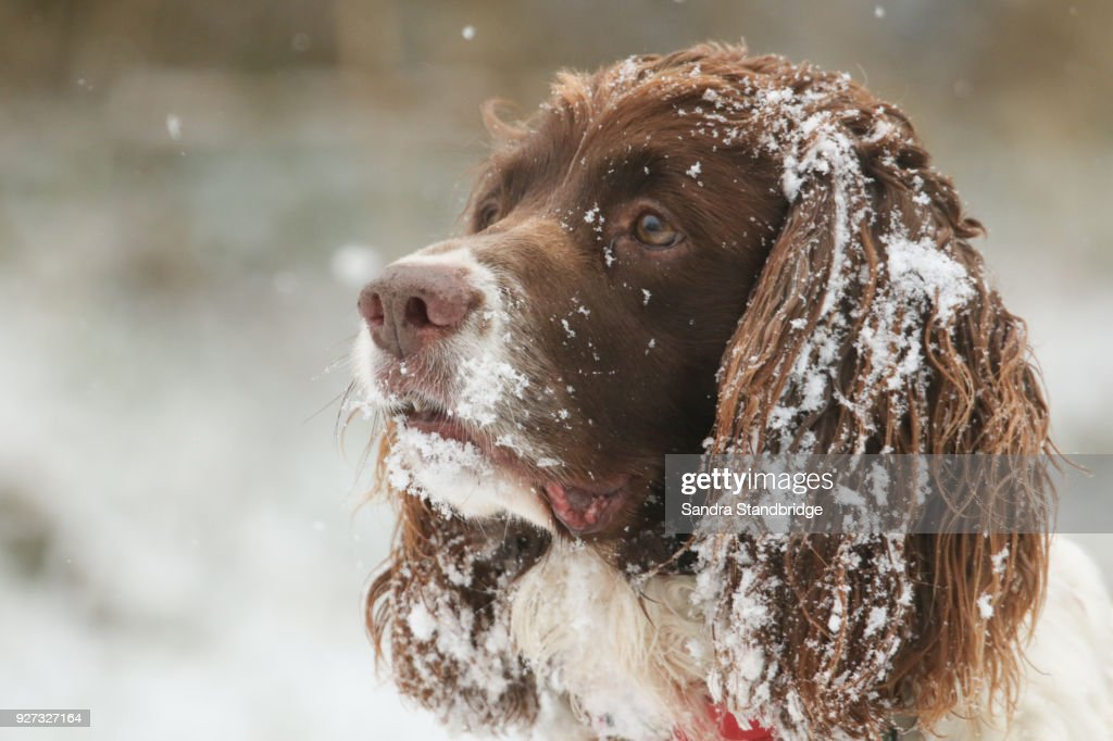 A cute head shot of an English Springer Spaniel Dog with snow on his ears and face. : Foto de stock