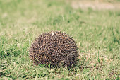 cute hedgehog curled up tangle