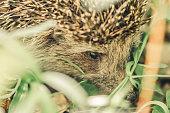 cute hedgehog runs grass