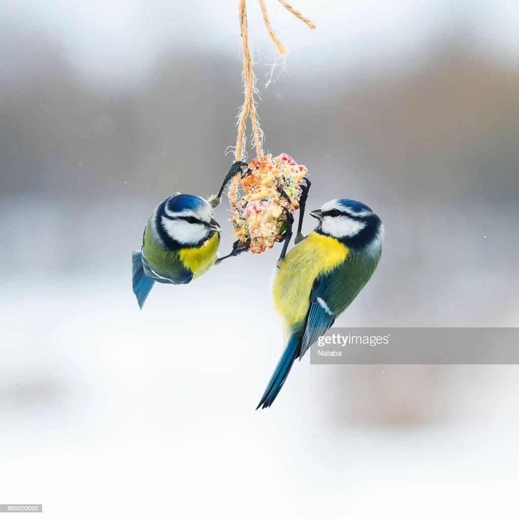 schattig hongerige vogels vliegen mezen op de feeders en eten zaden op de vlieg : Stockfoto