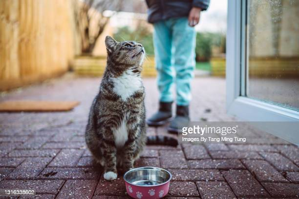 cute hungry cat looking up & waiting for food in the garden - domestic cat stock pictures, royalty-free photos & images