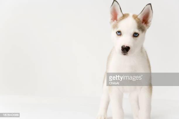 Cute husky puppy on white seamless