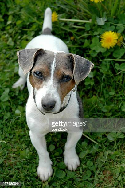Adorabile Jack Russell