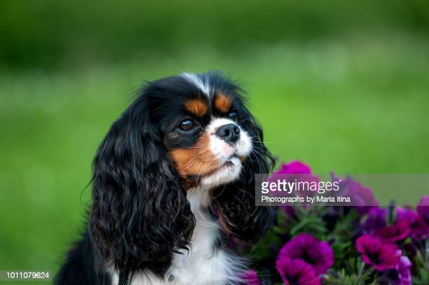 cute king charles spaniel - cavalier king charles spaniel photos et images de collection