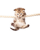 Cute kitten hanging on to rope isolated on white