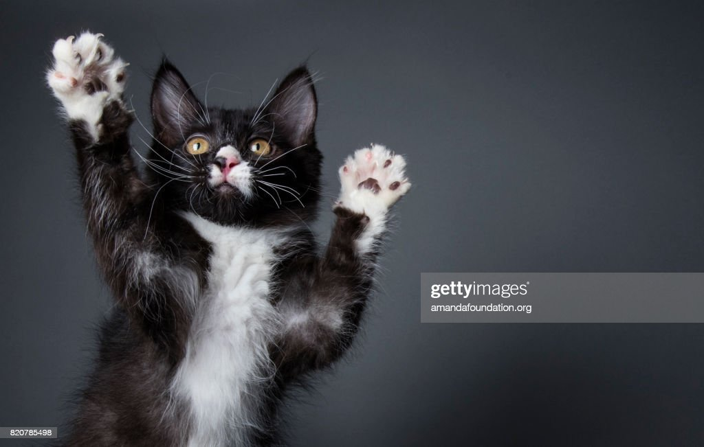 Cute Kitten Playing - The Amanda Collection : Stock Photo