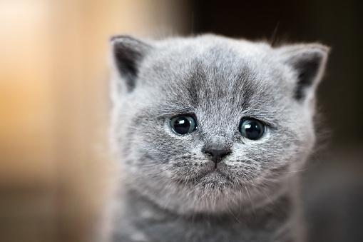 Cute kitten portrait. British Shorthair cat 916159418