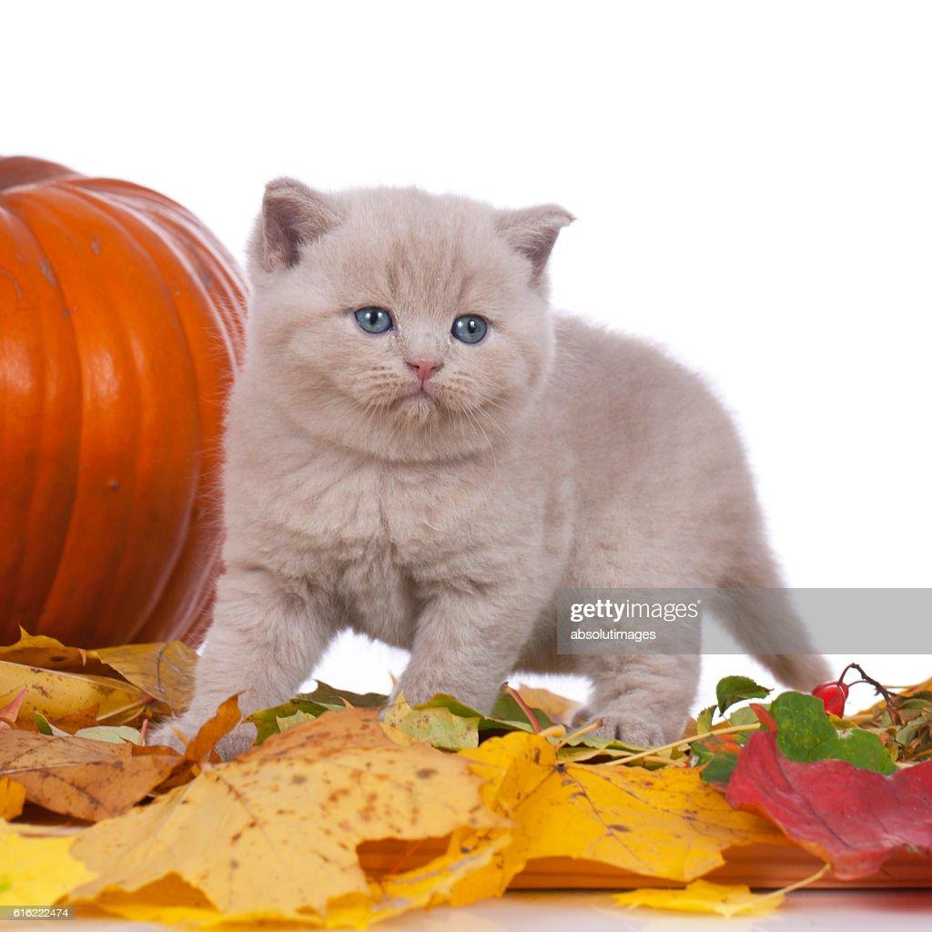cute kitten with pumpkin in autumn : Stock Photo