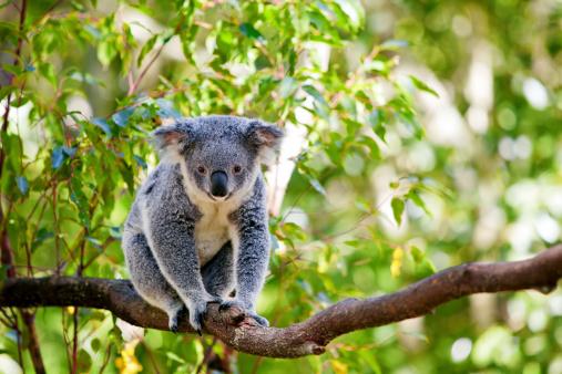 A cute koala climbing branch of a gumtree 142267648