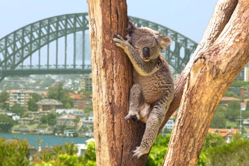 Cute Koala in Sydney, Australia 502958165